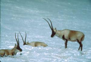 chiru-in-snow