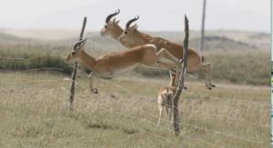 chiru-leaping